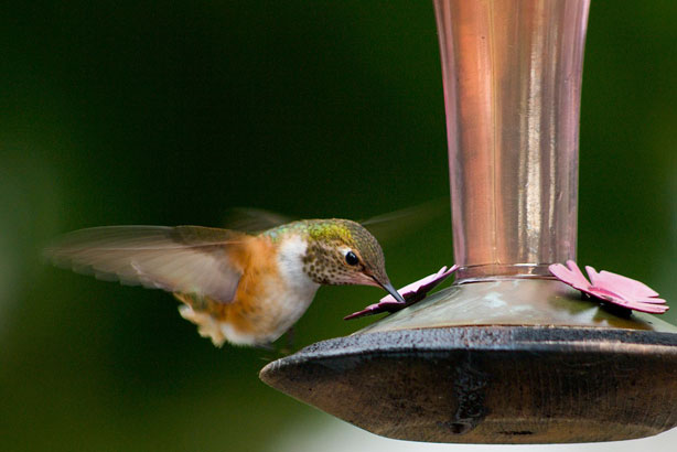 rufous-female2