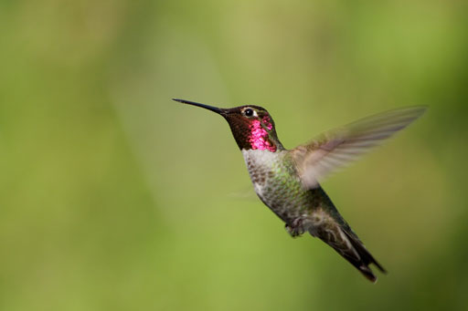 rufous-male